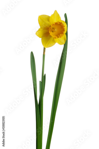 Deurstickers Narcis Yellow daffodil isolated