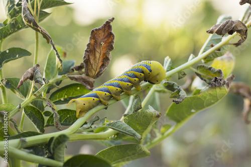 Acherontia Atropos Caterpillar Canvas Print