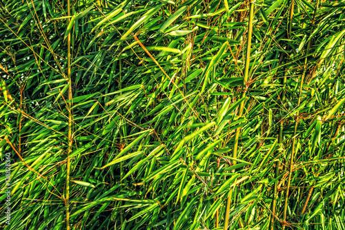 Bambus Süßgräser Pflanze