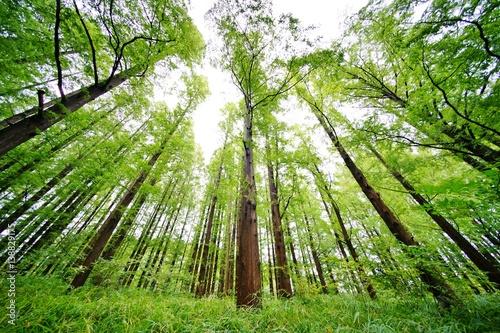 Fotobehang Bossen メタセコイアの森