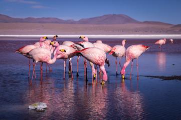 Fototapeta Ptaki Group of pink flamingos in the colorful water of Laguna Colorada, a popular stop on the Roadtrip to Uyuni Salf Flat, Bolivia