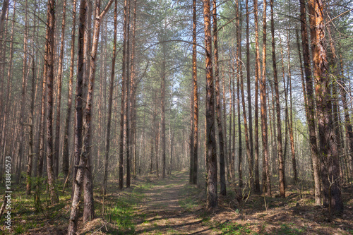 Spoed Foto op Canvas Weg in bos footpath in the pine wood in the May foggy morning