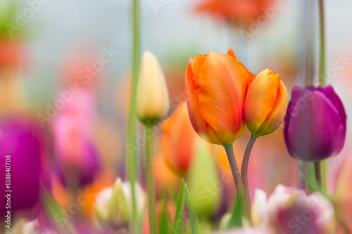 Photo  Beautiful view of colored tulips.