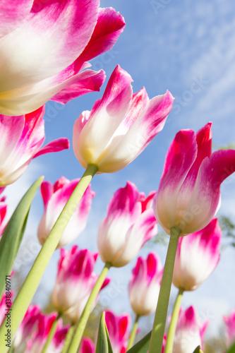 Obraz Piękny widok kolorowych tulipanów na niebie - fototapety do salonu