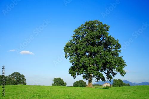 Große alte Eiche auf einer Wiese , hinten die bayerischen Alpen, blauer Himmel