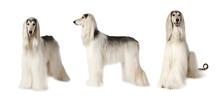Afghan Hound Dog Over White