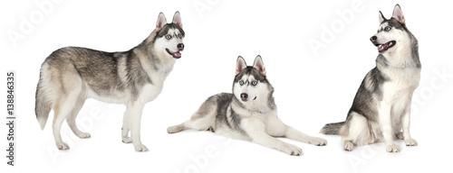 Foto op Aluminium Wolf Siberian Husky dog over white