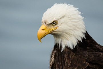 Bald eagle portrait, head a...