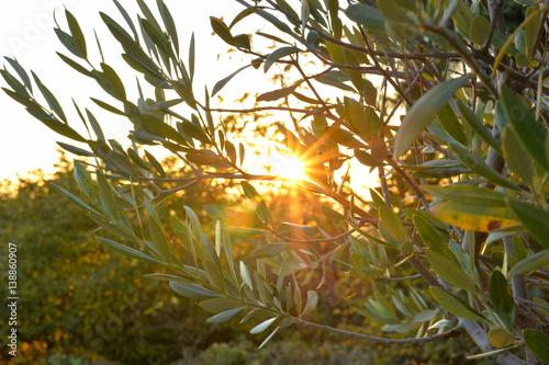 Photo sur Toile Oliviers Strahlender Sonnenuntergang durch Olivenbaumzweige