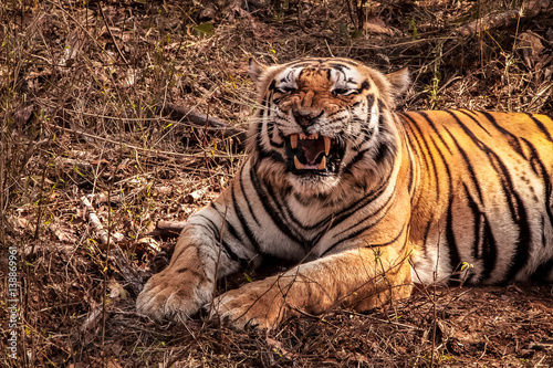 Close up of an impressive Bengal tiger showing its teeth, Kanha National Park, I Canvas Print