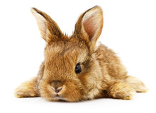 Brown Bunny Rabbit.
