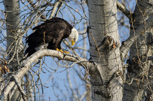 Bald Eagle Perched High In The...