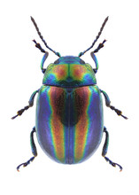 Beetle Chrysolina Coerulans An...