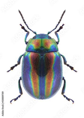 Fotografija Beetle Chrysolina coerulans angelica on a white background
