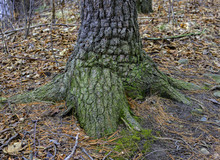 Nubby And Rough Tree Trunk Bas...