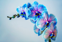 Blue Orchid. Brunch Of Orchid With The Blue Flowers With Violet Viens.