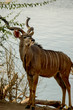 Portrait Kudu