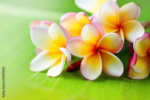Foto op Plexiglas Frangipani Frangipani flower closeup. Exotic plumeria spa flowers on green leaf tropical background