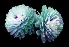 Turquoise-pink Flowers  Chrysanthemum.  Black  Isolated Background With Clipping Path. Closeup No Shadows. For Design. Nature.