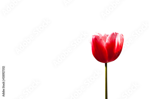 In de dag Tulp Single red tulip isolated on white background.