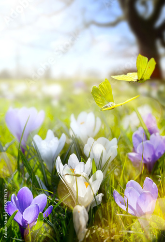 Fototapety, obrazy: Spring Blooming flowers and fly butterfly