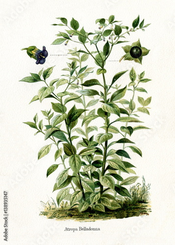 Photo Deadly nightshade (Atropa belladonna) (from Meyers Lexikon, 1895, 7/568/569)