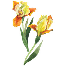 Wildflower Iris Flower In A Watercolor Style Isolated.