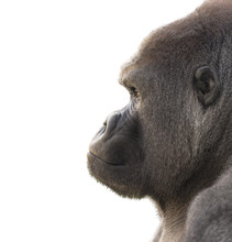 Portrait Of A Gorilla With Whi...