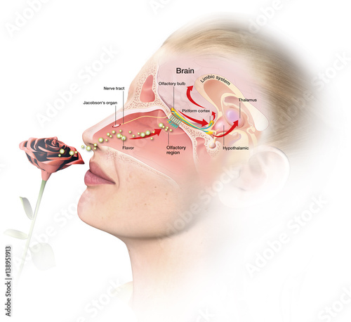 Obraz Olfacation, woman with rose, medical infographic - fototapety do salonu