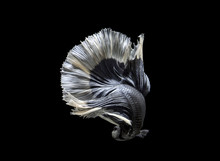 Siamese Fighting Fish Move On ...