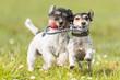 canvas print picture - zwei Hundespielen mit einen Ball - Jack Russell Terrier