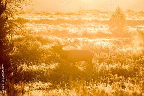 Fototapety, obrazy: Bull Elk at Sunrise Bugling
