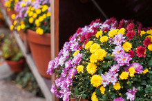 Shelfs In Garden With Potted Chrysanthemums (mums Or Chrysanths) Flowers.