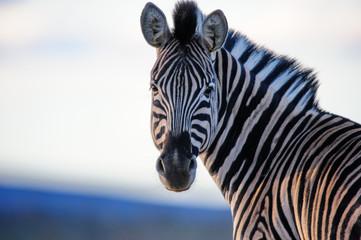 Fototapeta na wymiar Zebra Straight On Color