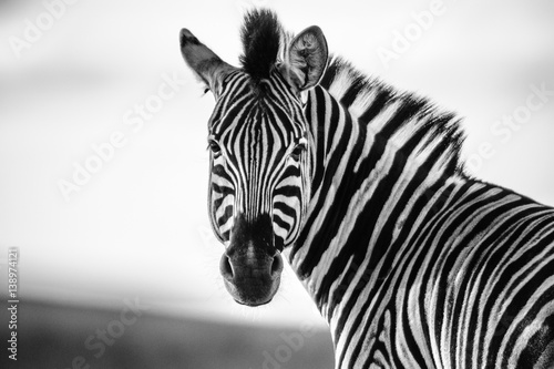Tuinposter Zebra Zebra Straight on Black and White
