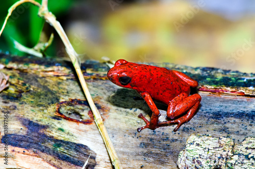 Staande foto Papegaai The strawberry poison frog (Oophaga pumilio) shot in rainforest of Costa Rica (Grandoca-Manzanillo wildlife refuge).