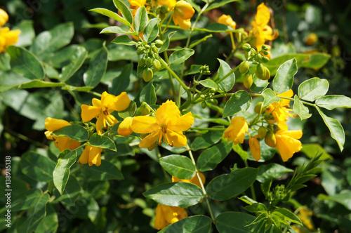 Carta da parati  Cassia or senna floribunda yellow flowers with green