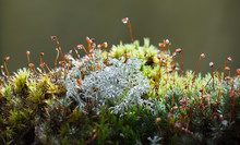 Rain Drops On Lichen And Moss