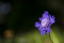 Purple Pincushion Flower