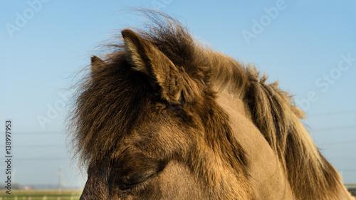 Door stickers Horses Dozing Icelandic horse