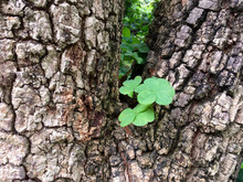 Closeup Of Clover On The Tree ...