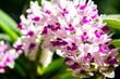 rhynchostylis gigantea orchid flowers