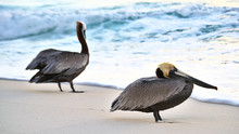 Duo Of Pelicans Resting On Shore At Sunrise