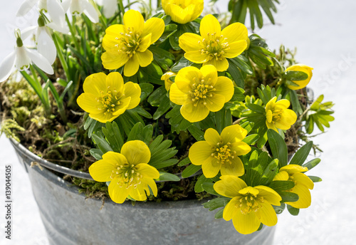 The first signs of spring. Winter aconite and snowdrops Wallpaper Mural