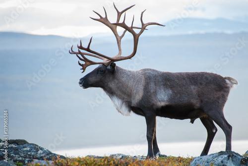 Canvastavla  Reindeer