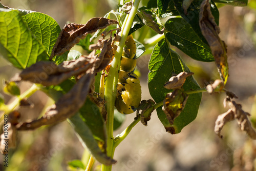 Acherontia Atropos Caterpillar eat Potato Plant Canvas Print