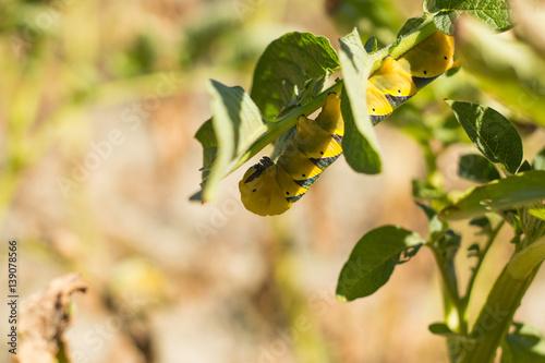 Photo Acherontia Atropos Caterpillar eat Potato Plant