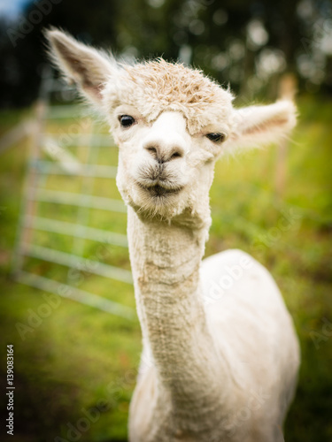 Portrait of a white alpaca