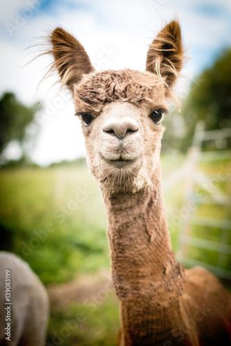 Staande foto Lama Portrait of a brown alpaca