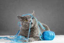 British Blue Cat Playing With ...